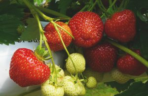Strawberries ready to pick and a few that are ripening