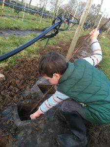 raspberry planting
